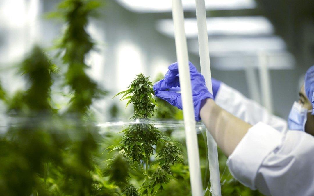 Медицинское применение конопли каннабиса марихуана сканка что это